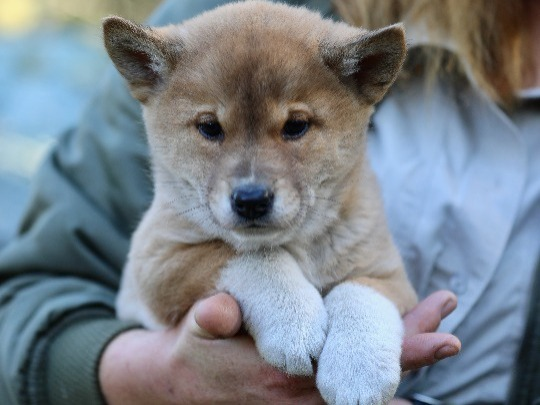 This 20-minute experience will take you behind the scenes for an adorable puppy playtime with a dingo puppy! Bring your camera and snap some shots to remember the experience forever.  Please note that this will take place in a behind the scenes area, not within the dingo enclosure.   **Prices for the dingo puppy encounter DO NOT include general admission to the Park**   Please arrive at the Australian Reptile Park at least 30 minutes prior to your encounter.